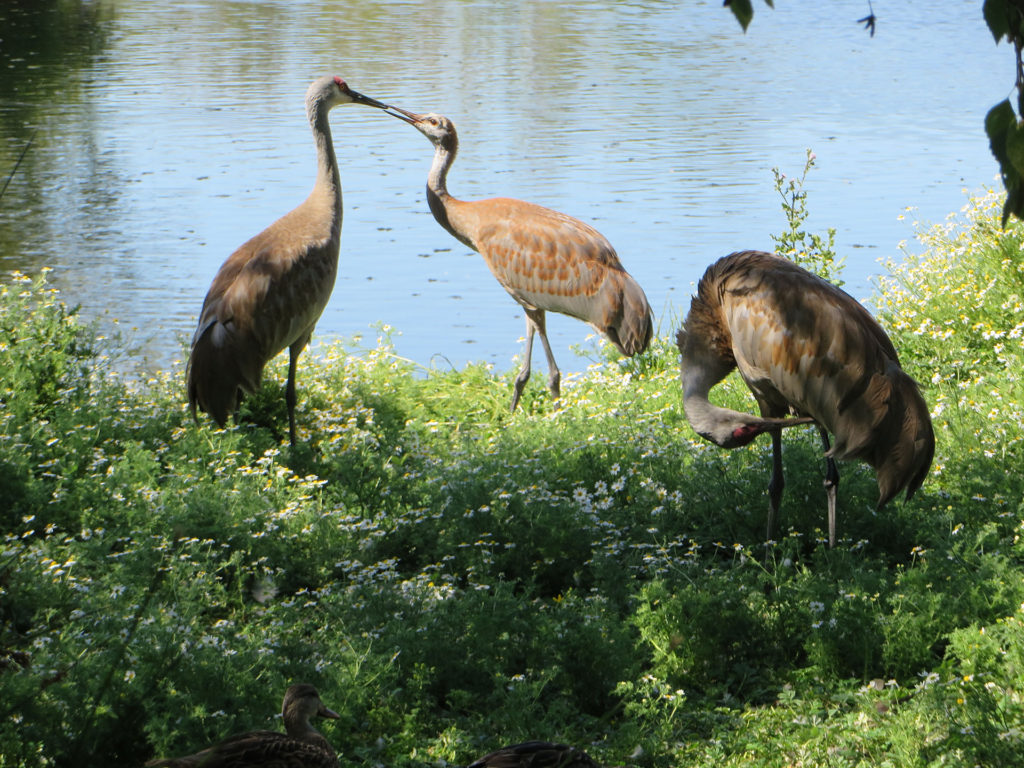 Sandhill Cranes with Young
